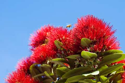 pohutukawa2-medium-web-view